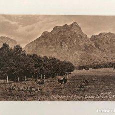 Postales: TARJETA POSTAL DE OSTRICHES AND EMUS, GROOTE SCHUUR, C.P.. Lote 205258800
