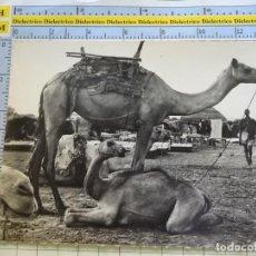 Postales: POSTAL DE ÁFRICA SUBSAHARIANA. FOLKLORE ESCENA VIVA ÉTNICA. CAMELLOS. 3378. Lote 255651395