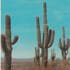 Cartoline: THE GIANT CACTUS OF THE DESERT. Lote 21303277