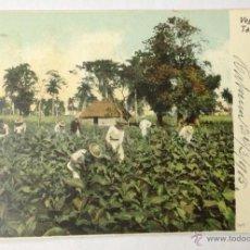 Postales: CUBA. VEGA DE TABACO. (CIRCULADA EN 1905. HABANA, CUBA - BARCELONA). Lote 39842686