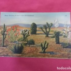 Postales: ANTIGUA POSTAL. MANY VARIETIES OF CACTI OF THE OLD SOUTHWEST. 181. Lote 115748855