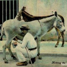 Postales: CUBA. MILKING THE BURROS. Lote 184324112