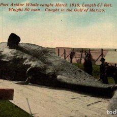Postales: PORT ARTHUR WHALE CAUGHT MARCH 1910. LENGTH 67 FEET. WEIGHT 80 TONS. CAUGHT IN THE GULF OF MEXICO. Lote 196138697
