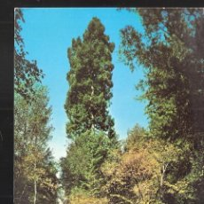 Postales: MUIR WOODS NATIONAL MONUMENT. MILL VALLEY. CALIFORNIA. USA.. Lote 207120641