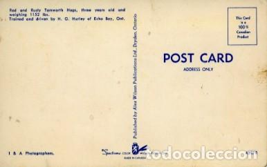 Postales: Canada. cerdos entrenados conduciendo un taxi. nueva sin usar - Foto 2 - 226124621