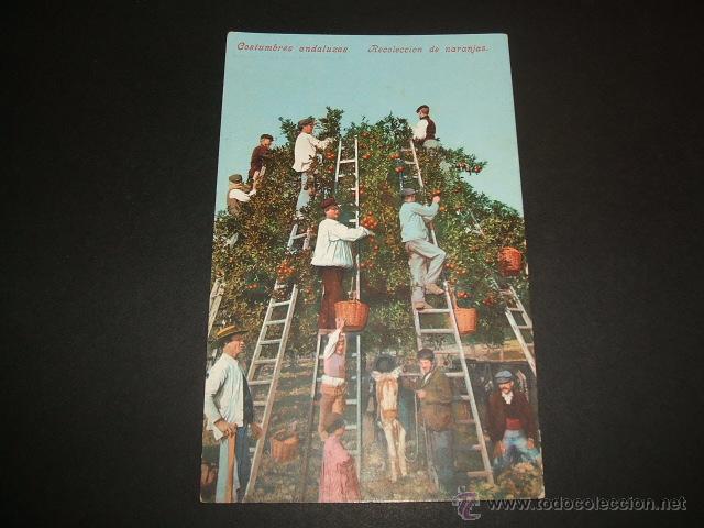 COSTUMBRES ANDALUZAS RECOLECCION DE NARANJAS PURGER Nº 3357 (Postales - España - Andalucia Moderna (desde 1.940))