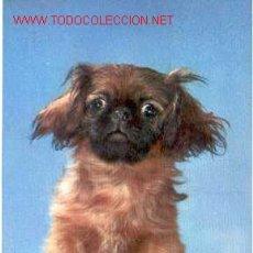 Postales: POSTAL PERRITO CHATO. Lote 16172239