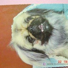 Postales: 1183 PERRO PEKINES CAN DOG CHIEN PRECIOSA MAS EN MI TIENDA TC COSAS&CURIOSAS. Lote 3449396