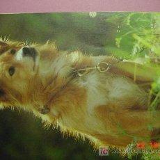 Postales: 1189 WACHHUND PERRO CAN DOG CHIEN PRECIOSA MAS EN MI TIENDA TC COSAS&CURIOSAS. Lote 3449526