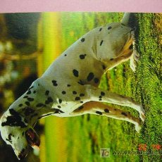 Postales: 1193 DALMATA PERRO CAN DOG CHIEN PRECIOSA MAS EN MI TIENDA TC COSAS&CURIOSAS. Lote 3449561