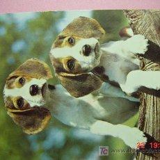 Postales: 1202 BEAGLE BIGLE PRECIOSA PERRO CAN CHIEN DOG MIRA MAS EN MI TIENDA TC COSAS&CURIOSAS. Lote 3715830