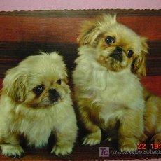 Postales: 1204 CAHORROS PRECIOSA PERRO CAN CHIEN DOG MIRA MAS EN MI TIENDA TC COSAS&CURIOSAS. Lote 3715850