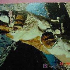Postales: 1205 SAN BERNARDO PRECIOSA PERRO CAN CHIEN DOG MIRA MAS EN MI TIENDA TC COSAS&CURIOSAS. Lote 3715857