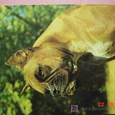Postales: 1208 BOXER PRECIOSA PERRO CAN CHIEN DOG MIRA MAS EN MI TIENDA TC COSAS&CURIOSAS. Lote 3715868