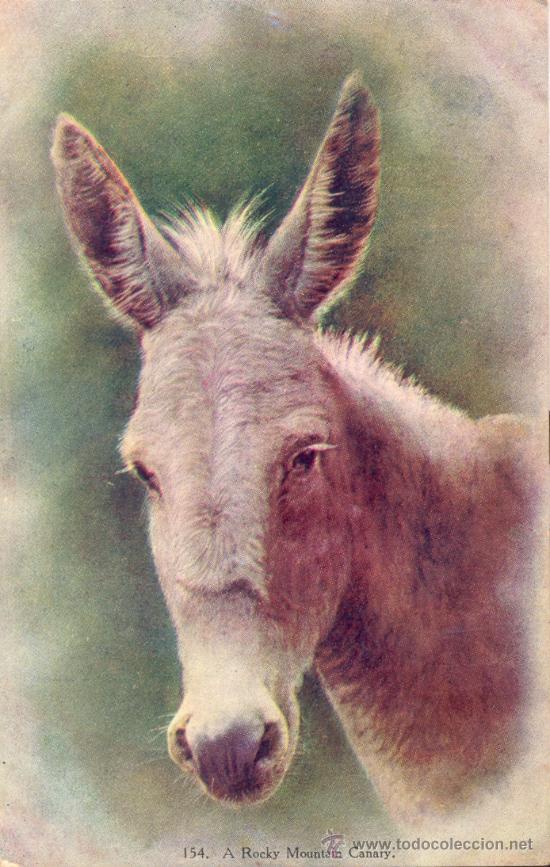 A ROCKY MOUNTAIN CANARY (BURRO, EN ESPAÑOL). POSTAL INGLESA COLOR, C. 1915. CANARIAS (Postales - Postales Temáticas - Animales)