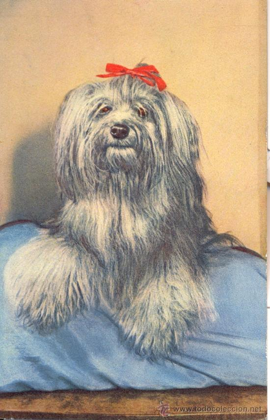 PERRO YORKSHIRE TERRIER. POSTAL COLOR, C. 1950. ANIM. (Postales - Postales Temáticas - Animales)