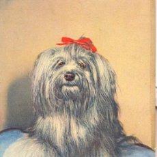 Postales: PERRO YORKSHIRE TERRIER. POSTAL COLOR, C. 1950. ANIM. . Lote 24736544