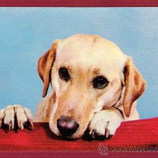 Postales: POSTAL ANTIGUA DE ANIMALES - PERROS - GOLDEN RETRIEVER. Lote 11675667