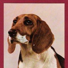 Postales: POSTAL ANTIGUA DE ANIMALES - PERROS - BEAGLE PUPPY. Lote 11675723