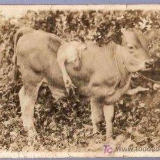 Postales: TARJETA POSTAL ANTIGUA DE ANIMALES. REVERSO NO DIVIDIDO. Lote 12170246