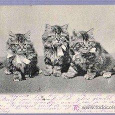 Postales: TARJETA POSTAL FOTOGRAFICA ANTIGUA DE ANIMALES. GATOS. REVERSO NO DIVIDIDO.. Lote 13136641