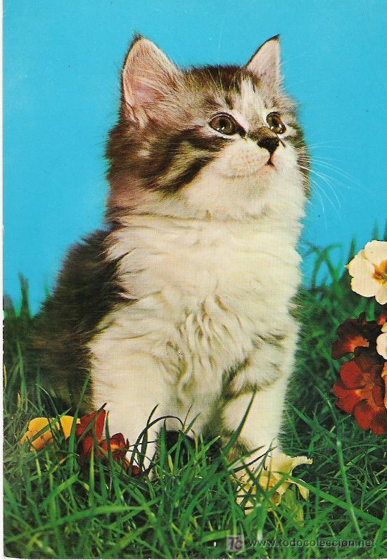 GATO - C. Y Z. 7224/31 D - (Postales - Postales Temáticas - Animales)
