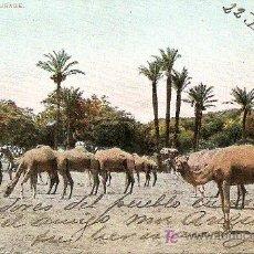 Postales: CAMELLOS PASTANDO (1906). Lote 25331523