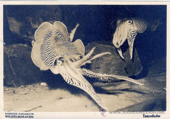 ACUARIO DEL MAR DEL NORTE WILHELMSHAVEN EN ALEMANIA 7-8-1953 CALAMAR TINTENFISCHE UX (Postales - Postales Temáticas - Animales)