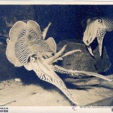 Postales: ACUARIO DEL MAR DEL NORTE WILHELMSHAVEN EN ALEMANIA 7-8-1953 CALAMAR TINTENFISCHE UX. Lote 20650383