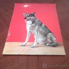 Postales: ANTIGUA POSTAL TAMAÑO ESPECIAL 20,5 X 15 PERRO PASTOR ALEMAN. Lote 26350723