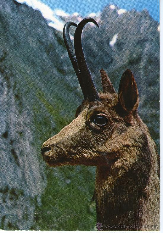 POSTA TEMATICA ANIMAL - REBECO, CABRA, - TROFEO ABADIAS (Postales - Postales Temáticas - Animales)