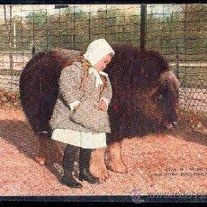 Postales: TARJETA POSTAL DE ANIMALES. MUSK OX . PARQUE ZOOLOGICO DE NUEVA YORK. Lote 28517520