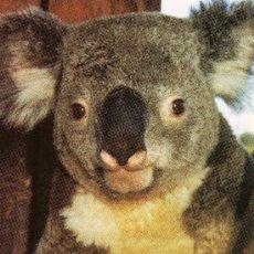 Postales: POSTAL KOALA AUSTRALIA SAN DIEGO ZOO NUEVA SIN CIRCULAR . Lote 30012622