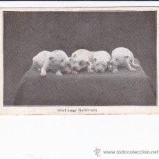 cachorros Bullterriers (escrita)