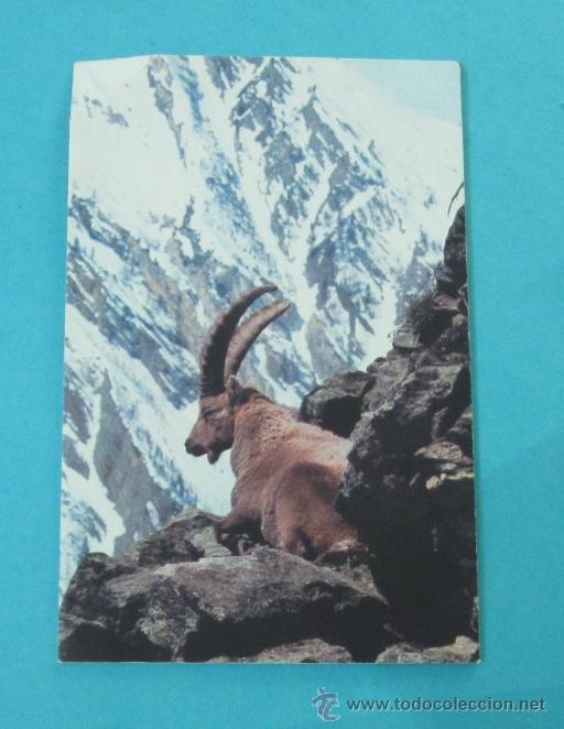 POSTAL CABRA. ALPES. DÍPTICO 8,5 X 13,5 CM (Postales - Postales Temáticas - Animales)