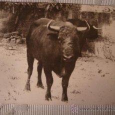 Postales: RARA TARJETA POSTAL ORIGINAL FOTOGRAFIA DE TORO TOROS, CA.1910. Lote 33760598