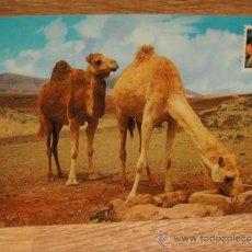 Postales: CAMELLOS DE CANARIAS - SIN CIRCULAR - DISTRIBUIDORA CANARIA. Lote 34313679
