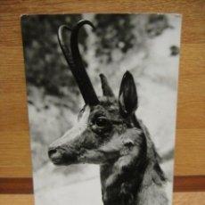Postales: CABEZA DE SARRIO -POSTAL CIRCULADA 1967 - EDICIONES SICILIA - FOTOGRAFICA. Lote 34470890