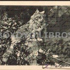 Postales: POSTAL DE UN GATO SOBRE UNA CERCA. REVERSO SIN DIVIDIR. ESCRITA Y CIRCULADA EN 1904. Lote 36164851