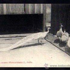 Postales: ANTIGUA POSTAL PAVO REAL ALBINO.NO CIRCULADA.. Lote 37020029