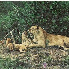 Postales: +-+ PV805 - POSTAL LEONES - LIONESS AND CUBS. Lote 37891848