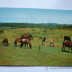 Postales: POSTAL SIN CIRCULAR PONIES DE NEW FOREST. Lote 39064080