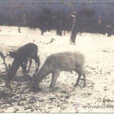 Postales: PS1094 POSTAL FOTOGRÁFICA DE DOS CIERVOS. CIRCULADA EN 1909. Lote 39201314