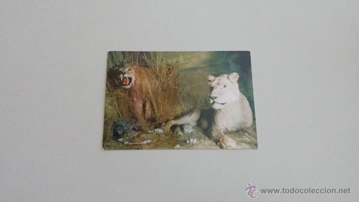 POSTAL GRUPO DE LEONES (Postales - Postales Temáticas - Animales)