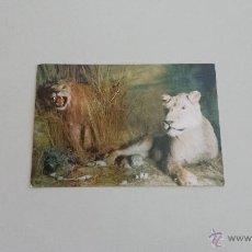 Postales: POSTAL GRUPO DE LEONES. Lote 39426249