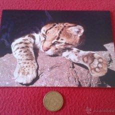 Postales: POSTAL OCELOTE ESTADOS UNIDOS USA POST CARD ENVIRONMENTAL DEFENSE BUEN ESTADO NO ESCRITA N/C. Lote 41247831