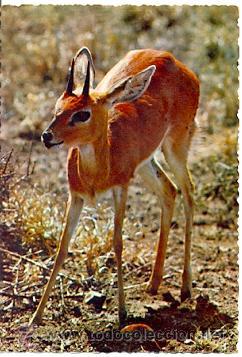 7-ANI18. POSTAL GAZELA. AFRICA (Postales - Postales Temáticas - Animales)