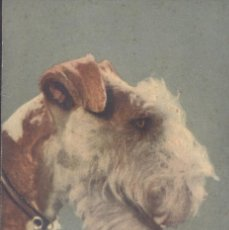 Postales: FOX TERRIER. POSTAL COLOR SUIZA, SIN CIRCULAR. C. 1930. Lote 45990407