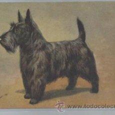 Postales: TARJETA POSTAL DE ANIMALES, PERRO, 96 SCOTCH TERRIER. Lote 46237691