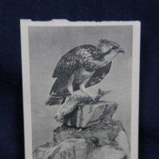 Postales: POSTAL AGUILA PESCADORA DE LA ALBUFERA DE VALENCIA MUSEO NACIONAL CIENCIAS NATURALES . Lote 48918156